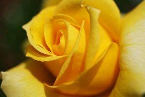 Rosas Amarillas 49[1]